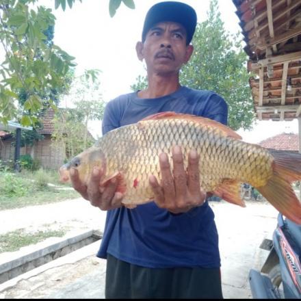 Panen ikan 1 ekor beratnya hampir 3 kg